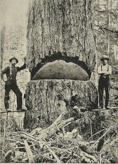 9-foot_diameter_Douglas_Fir_-_1900
