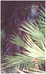 Skunk_ape_at_night