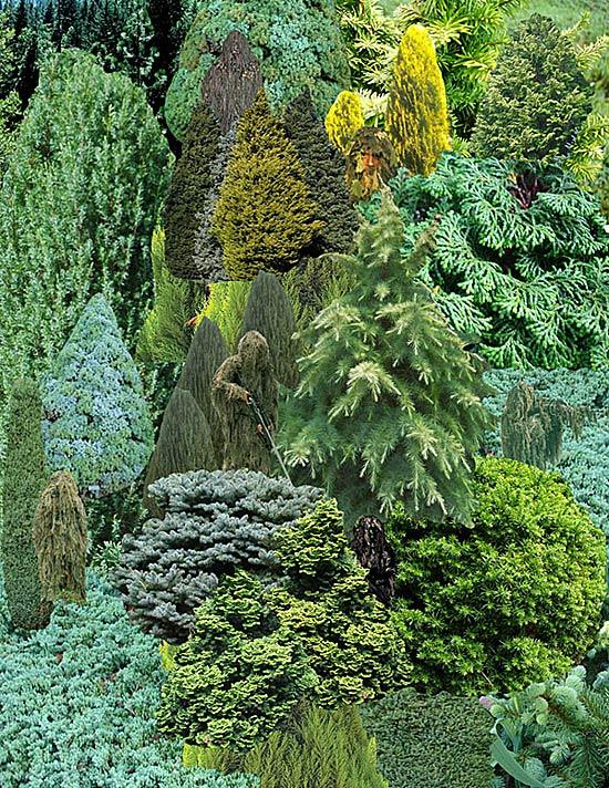 2-10-11_Stephanie-Davidson_Conifers_6
