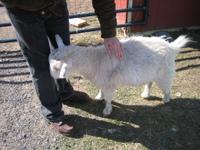 Petting_goat