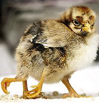 4leg_chicken_1