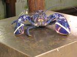 800pxblue_lobster_02