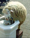 Fountain_sheep