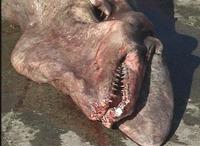Goblin_shark