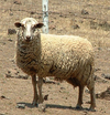 Sheep_at_fence_1