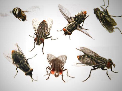 Varioushouseflies